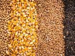 Зерно - пшеница, кукуруза, ячмень, просо, овес, рожь   Grain - фото 1